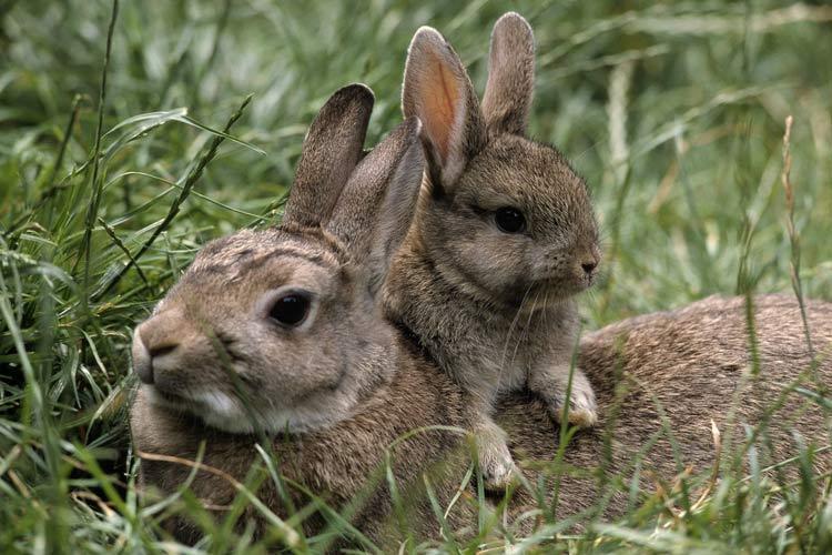 شکار غیرقانونی خرگوش ها در لرستان