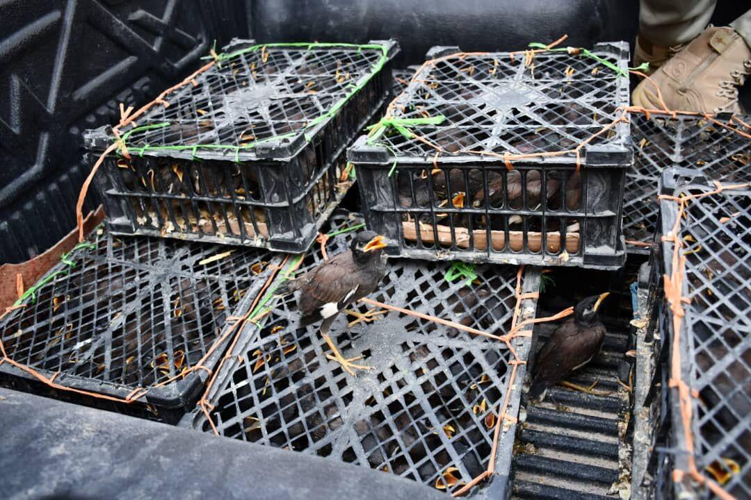 خبرنگاران 510 قطعه مرغ مینا از قاچاقچیان در اهواز کشف شد