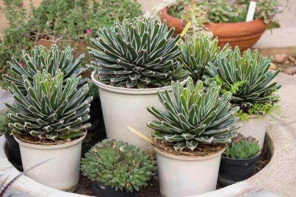 پرورش و نگهداری از گیاه مقاوم آگاو