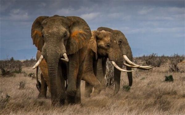 شکار غیرقانونی فیل ها را به خطر انقراض نزدیک تر کرده است