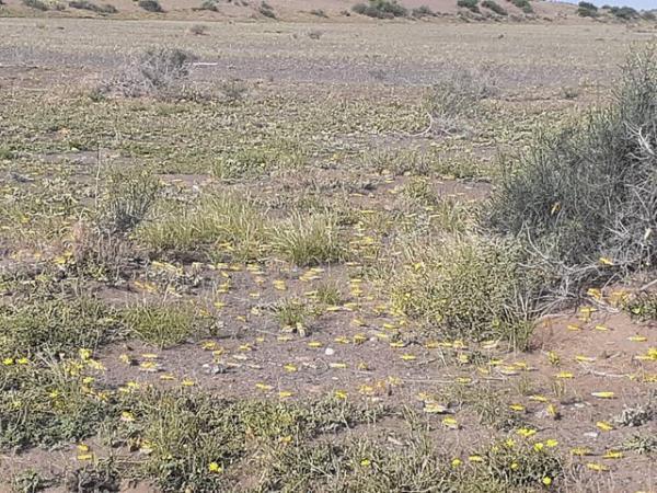 دیده بانی ملخ صحرایی در سطح 5میلیون و 500 هزار هکتار از مراتع انجام شد