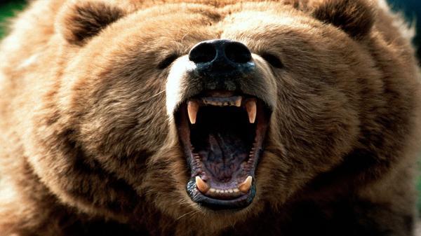 پنج خرس به یک زن پیرانشهری حمله کردند